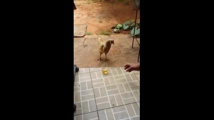 Кокошка не си дава бирата