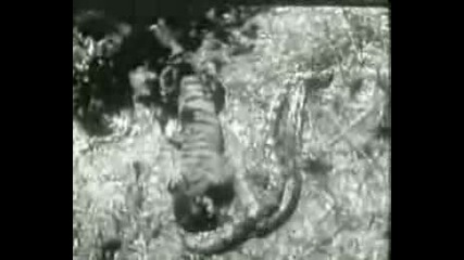 Питон Атакува Тигър