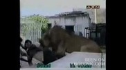 Лъв Напада Хора