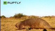 Massive Elephant Seal Found Relaxing on a Farm