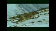 Снежен Барс  -Ирбис#2