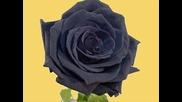 Эшелон - черная роза