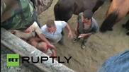 Spain: Men attempt to fight wild horses at 'Rapa das Bestas'