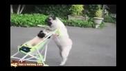 Куче бута количка с бебе :)