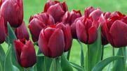 Romantic Sax - красиви лалета...