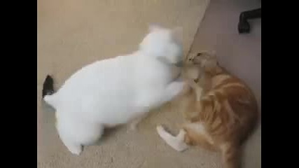 Ufc (ultimate Fighting Cats).flv