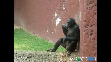 Разгонено шимпанзе - голям артист !!