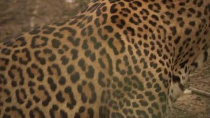 Big Cats Love - Leopard