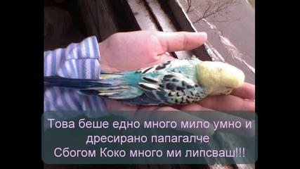 В памет на най милото папагалче /коко/