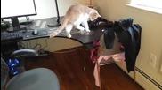 Как да отучим котката да се качва на бюрото