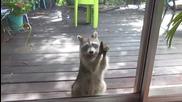 Енот чука на вратата, за да получи котешка храна
