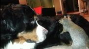 Катеричка си крие лешника в куче