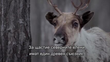 Възраждане на дивата Европа | Северните елени