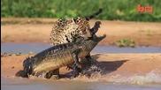Ягуар атакува Кайман - Кадри от близо