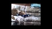 Коте искара акъла на френски булдог