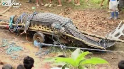 Най-големият крокодил хващан някога жив