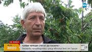 Стигат ли българските череши до пазара?