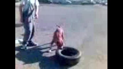 Pit Bull носи Гума