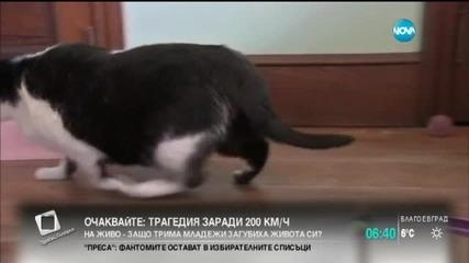 Лекуват котка от наднормено тегло