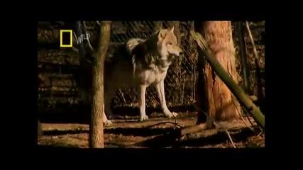 сила на захапката - Вълк