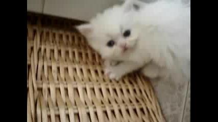 Бялото персийско коте Фабио