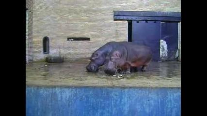 Хипопотам плюска като за световно