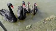храня черни лебеди в Щутгарт,германия