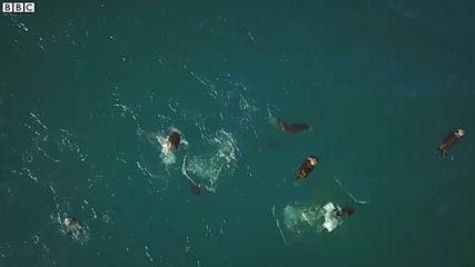 Морските видри - Начин на отселяване, докато океанският ледник се топи!