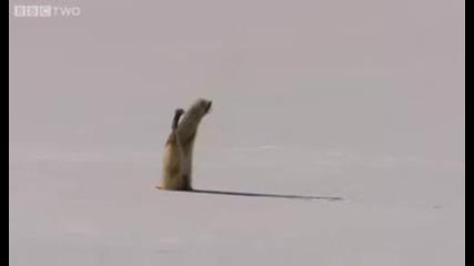 Лисица ловува по интересен начин