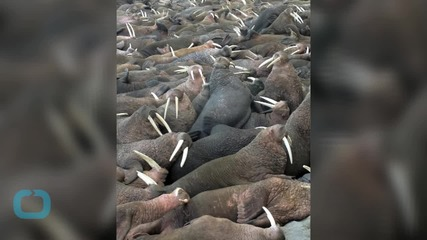 Alaska Reopens Online Window on World of the Walrus