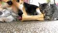 Интересна Компилация - Малки Котетнца и Големи Кучета
