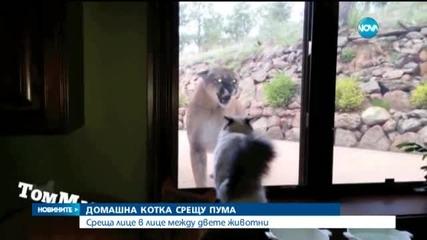 "Домашна котка в ожесточен ""спор"" с пума"