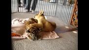 Лъвче И Тигърче - Бебета