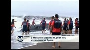 В Мексико спасиха гърбат кит, изхвърлен на брега
