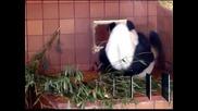 Мексико помага на Китай за опазването на гигантските панди