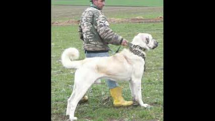 Boz Shepherd Dogs