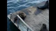Тюлен имитира смеха на жена