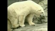 Почина най-старата полярна мечка в света