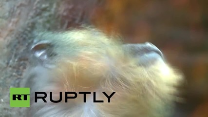 Russia: Japanese macaque monkeys gifted to St Petersburg zoo