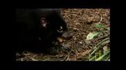 Тасманийски дявол - national geographic