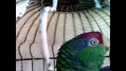 Папагалчето