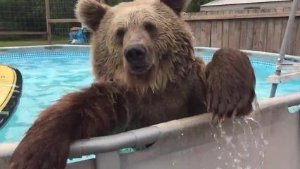 Мечка се разхлажда в басейн !