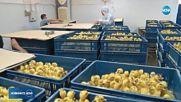 Птицевъди се опасяват, че мерките срещу птичия грип ще унищожат бизнеса