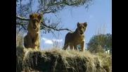 Варан срещу лъвове
