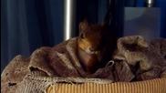 Твърде сладката катеричка Ноби заспива в разхвърляното си легло.