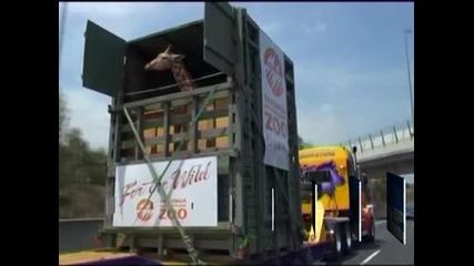 Жираф в Австралия прекоси магистрала от 400км, за да стигне до новия си дом