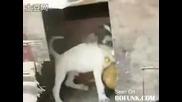 Куче изнасилва кокошка ! - смях