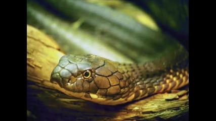 Varvarski Snakes