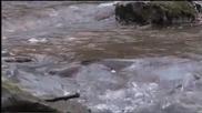 Невероятната история в борбата за оцеляване на речните пъстърви
