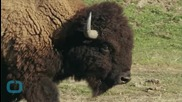 Ако закачаш бизоните, ще усетиш рогата им